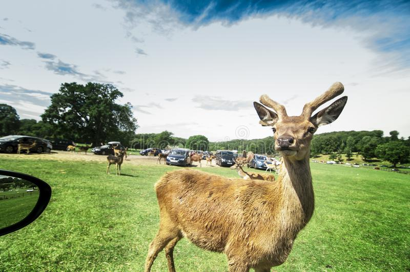 Stag Do!!!. Click at Longleat Safari Park in England. These animals are ever ready for for pictures and food royalty free stock photos