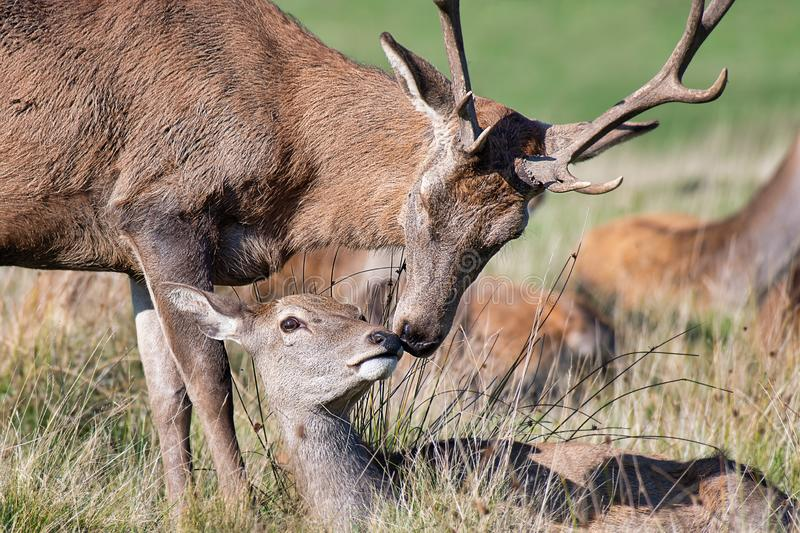 Red deer in embrace stock images