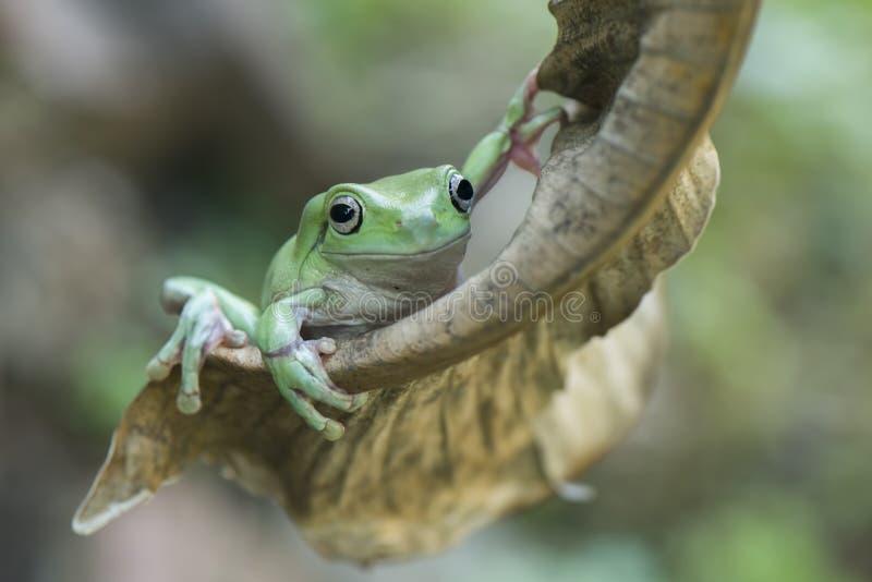 Stag för grön groda på det torra bladet fotografering för bildbyråer