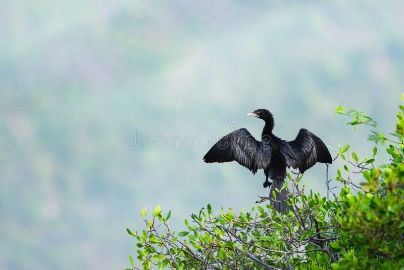 Stag för stor kormoran eller Phalacrocoraxcarbo på trädfilialen royaltyfri foto