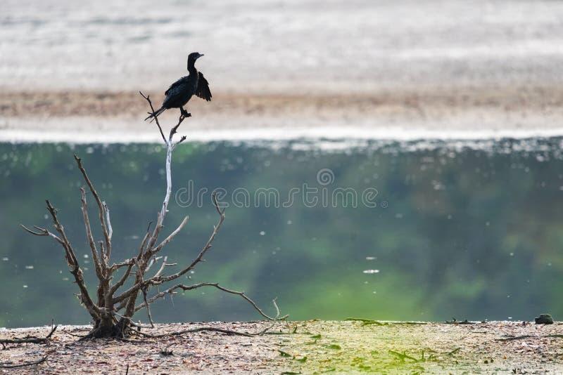 Stag för stor kormoran eller Phalacrocoraxcarbo på trädfilialen royaltyfria bilder