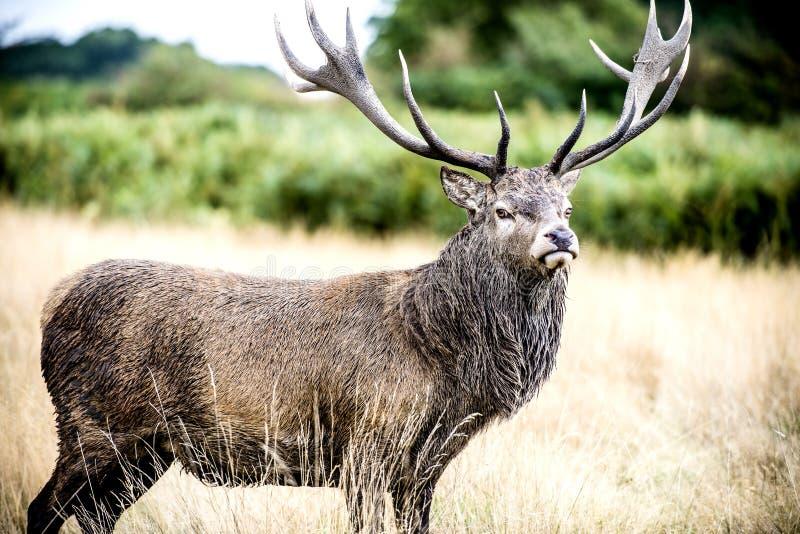 Stag or Hart, the male red deer. The Cervus Elaphus, known as red deer, is the fourth-largest deer species behind moose, elk and sambar deer. It is a ruminant stock photos