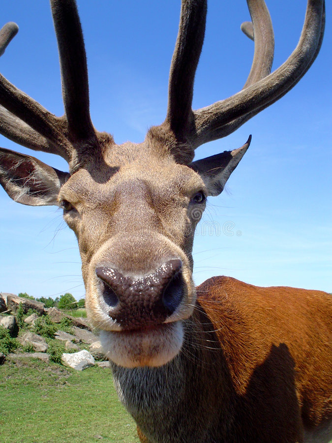 Free Stag Head Stock Images - 2163644
