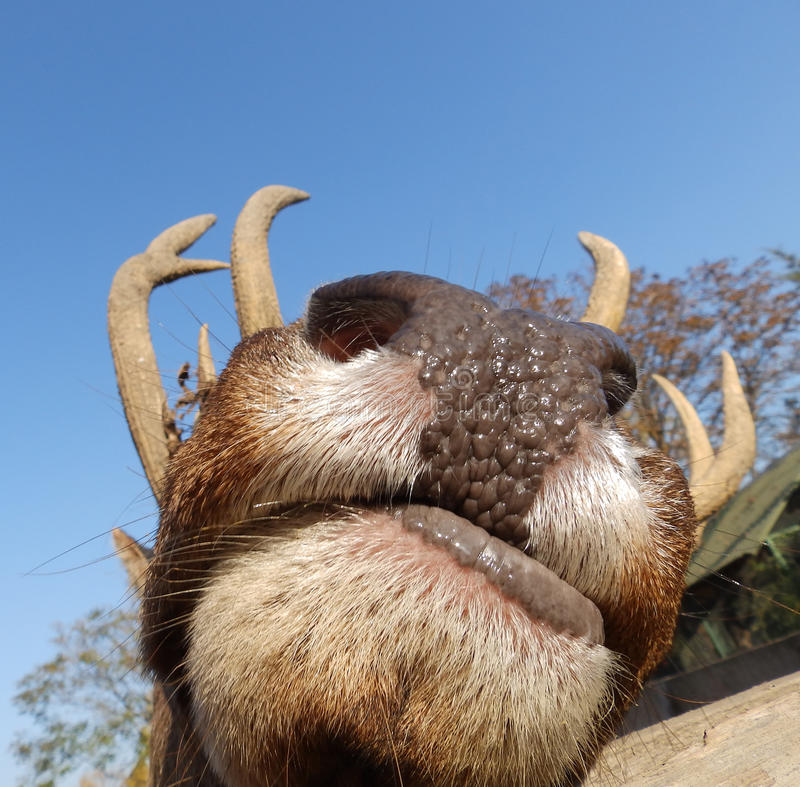 Stag mouth stock image