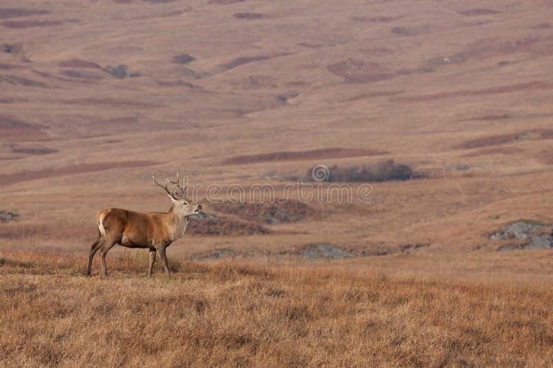 Download Stag Photographed On Jura In Scotland Royalty Free Stock Image - Image: 24632856