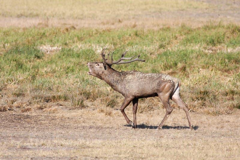 Stag of red deer Cervus elaphus in rutting season stock image