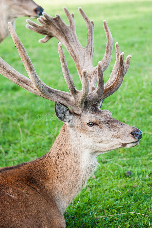 Stag resting