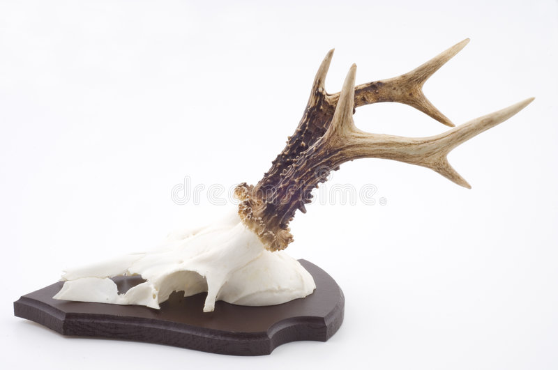 Stag skull and antlers royalty free stock photo
