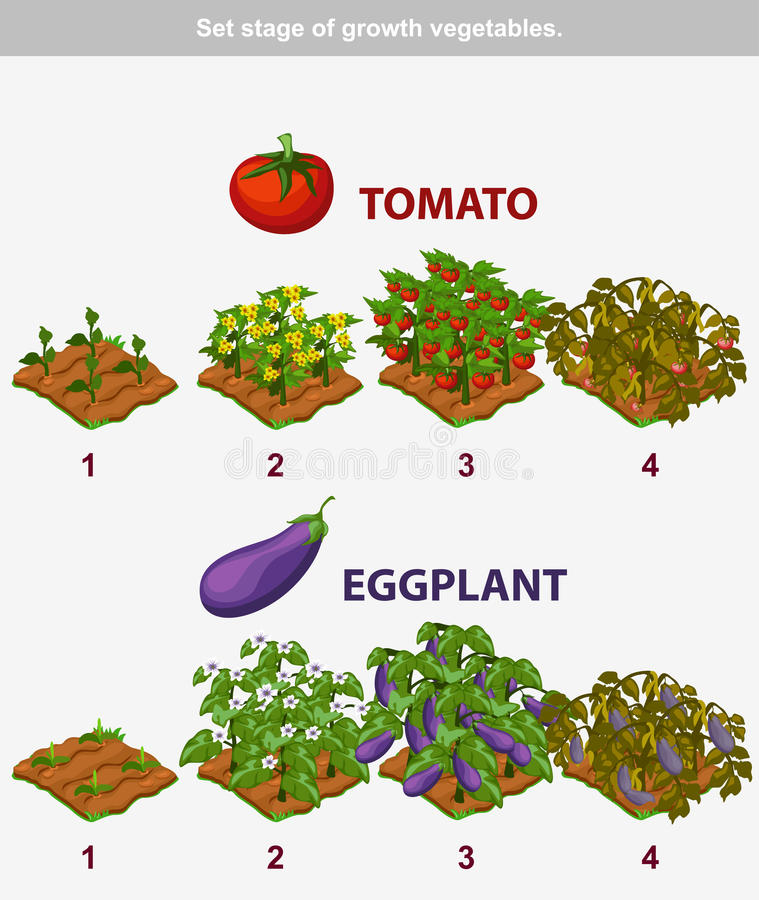 Stage of growth vegetables. Tomato and Eggplant stock illustration