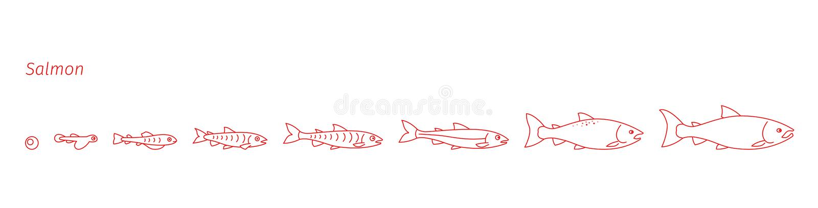Stages of Atlantic salmon fish growth set. Coho fish from egg to fry. Sockeye aquaculture animation progression. Life. Cycle. Outline contour red line flat royalty free illustration