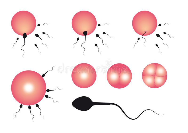 Download The Stages Of Fertilization Royalty Free Stock Photo - Image: 30429575