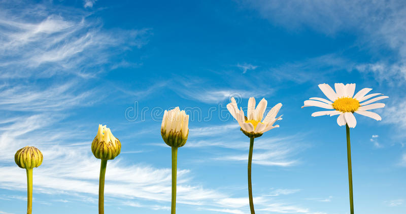 Stages of growth and flowering of a daisy, blue sky background royalty free stock photography