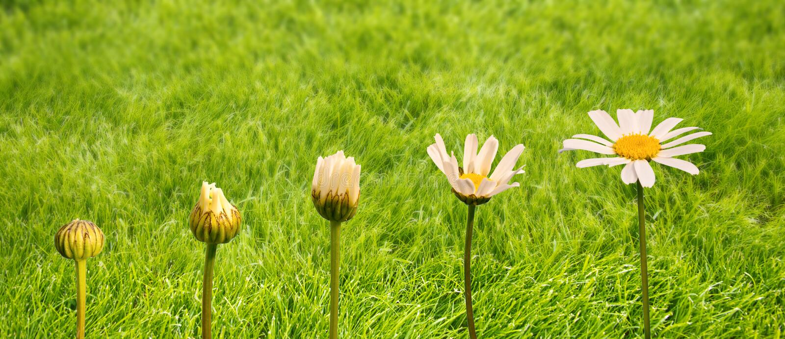 Stages of growth and flowering of a daisy, green grass background, life transformation concept stock images