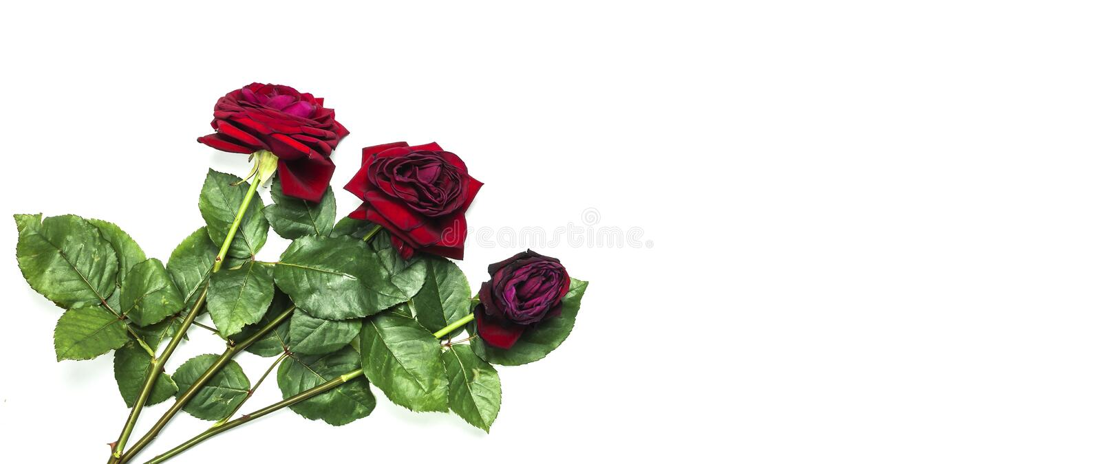The stages of the life cycle of red rose from flowering to wilting on white isolated background top view. Three red roses royalty free stock photo