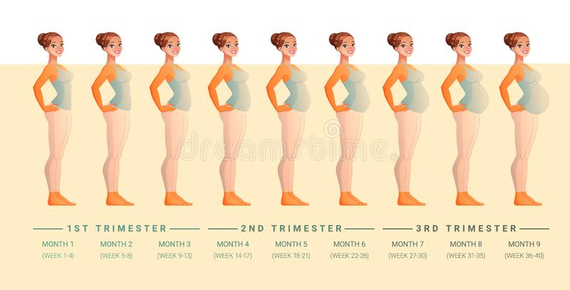 Stages of pregnancy month by month. Isolated vector illustration. royalty free illustration
