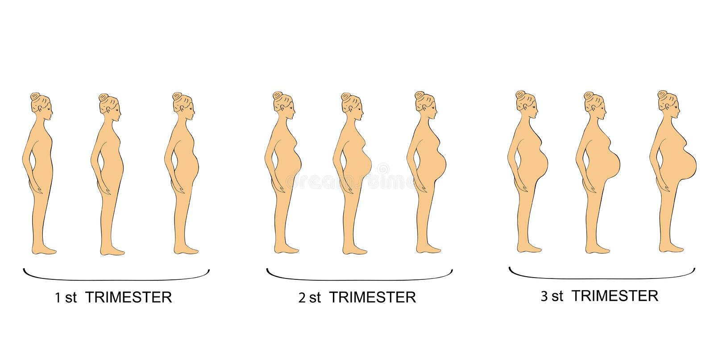 Stages of pregnancy women trimester. vector illustration stock illustration