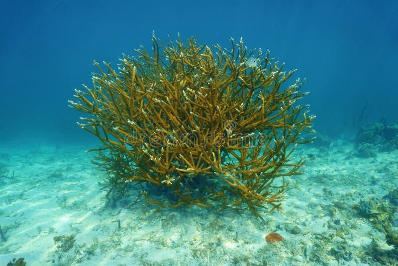 Staghorn珊瑚鹿角珊瑚属cervicornis殖民地  免版税库存图片