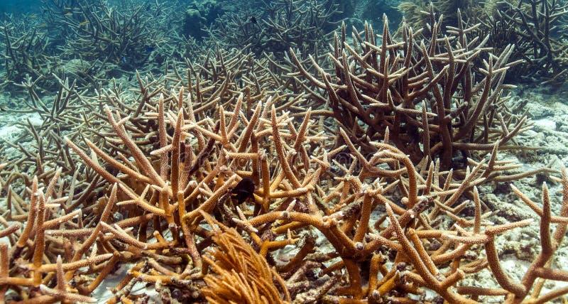staghorn珊瑚(鹿角珊瑚属cervicornis) 免版税库存照片