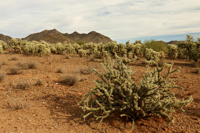 Staghorn Cactus in front of Cholla stock image