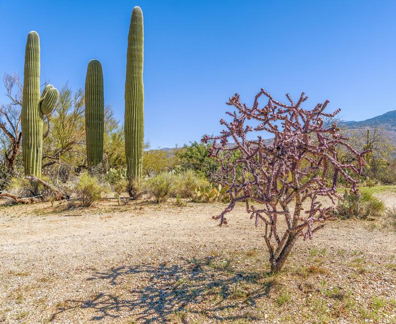 Staghorn cholla cactus just before spring blooming in Saguaro National Park.Arizona.USA. Staghorn cholla cactus Cylindropuntia versicolor just before spring stock photos