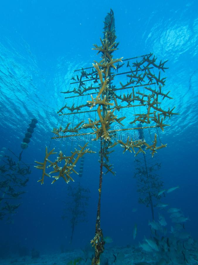 Download Staghorn Coral nursery stock image. Image of scleractinia - 88369051