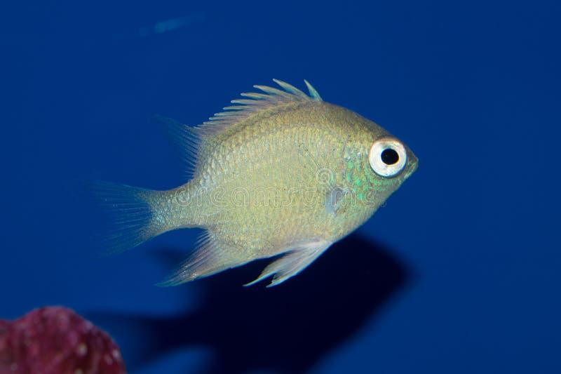 Staghorn Damselfish στοκ εικόνες με δικαίωμα ελεύθερης χρήσης