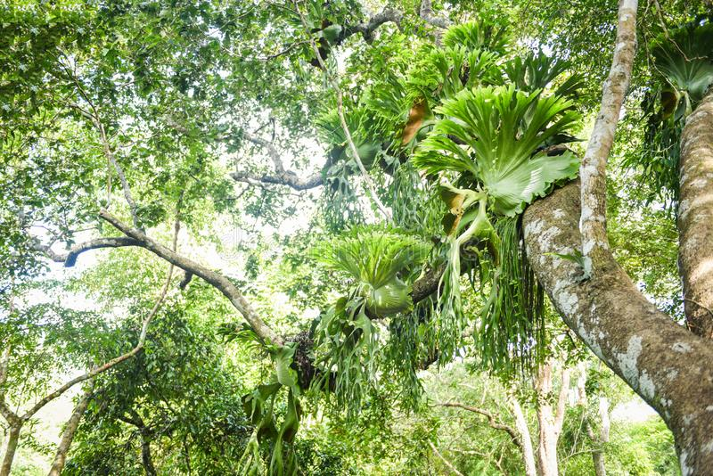 Staghorn de la planta de los helechos del Platycerium o helecho de elkhorn que crece en árbol de la rama fotos de archivo libres de regalías
