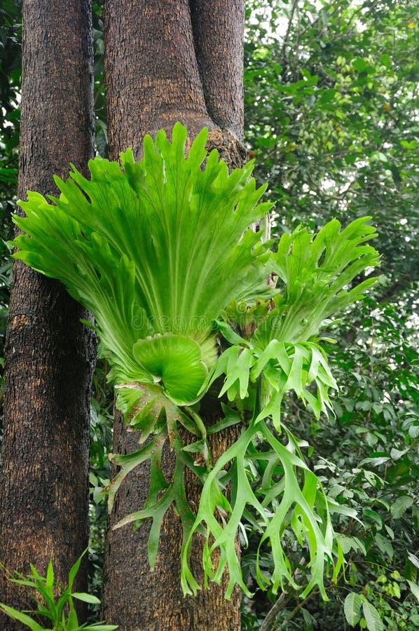 Staghorn ferns fotografering för bildbyråer
