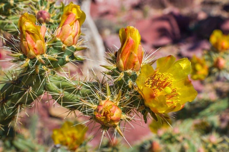 Staghorn-Kaktus-Blume lizenzfreie stockfotografie