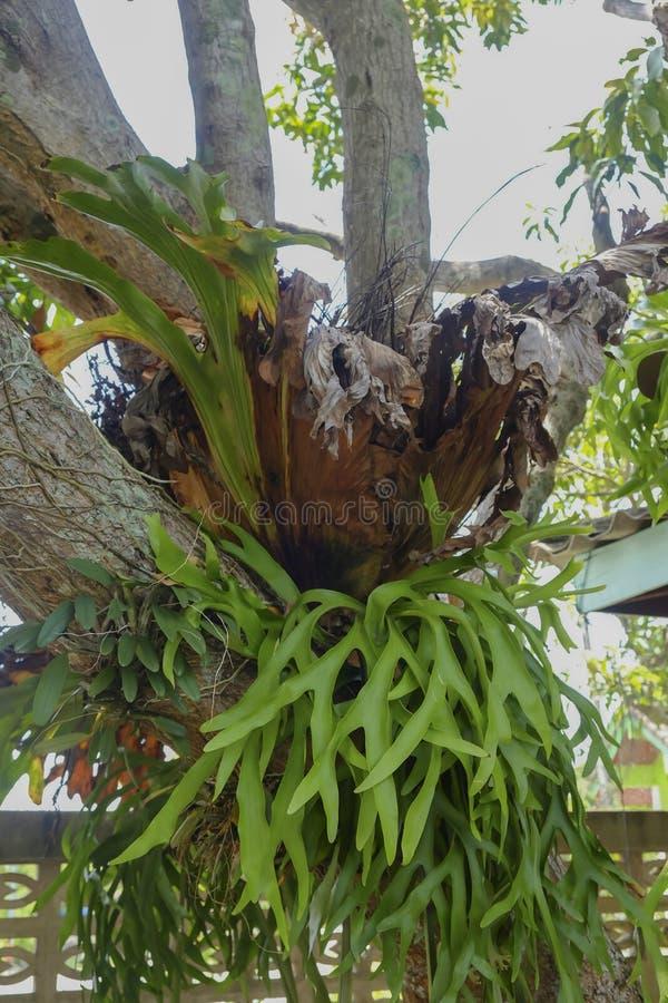 Staghorn paproć Platycerium holttumii Joncheere & Hennipman poli- zdjęcie stock