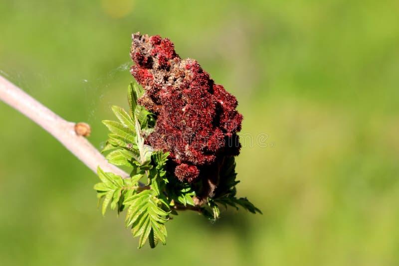 Staghorn sumac或与新鲜的浅绿色的叶子和深红部分地干密集的漆树typhina雌雄异体的落叶树分支 免版税库存照片