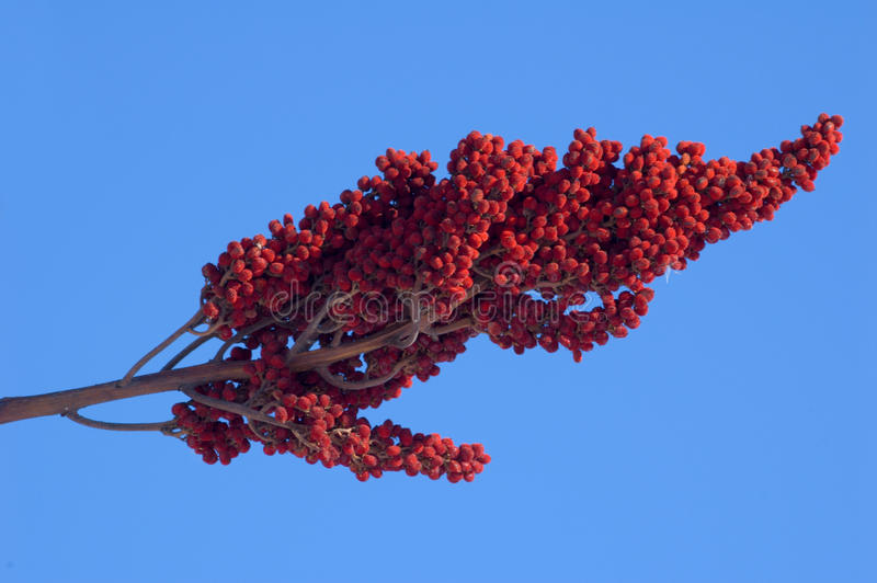 Staghorn Sumac. Drupes of Staghorn Sumac on the blue sky background stock image