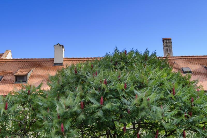 Staghorn Sumac cespuglio e fiori rossi fotografia stock