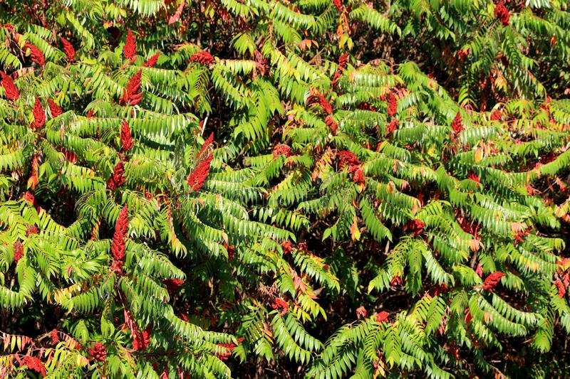 Staghorn sumac or Rhus typhina small trees planted next to each other with large treetop looking like large carpet made of leaves. Staghorn sumac or Rhus typhina royalty free stock photo