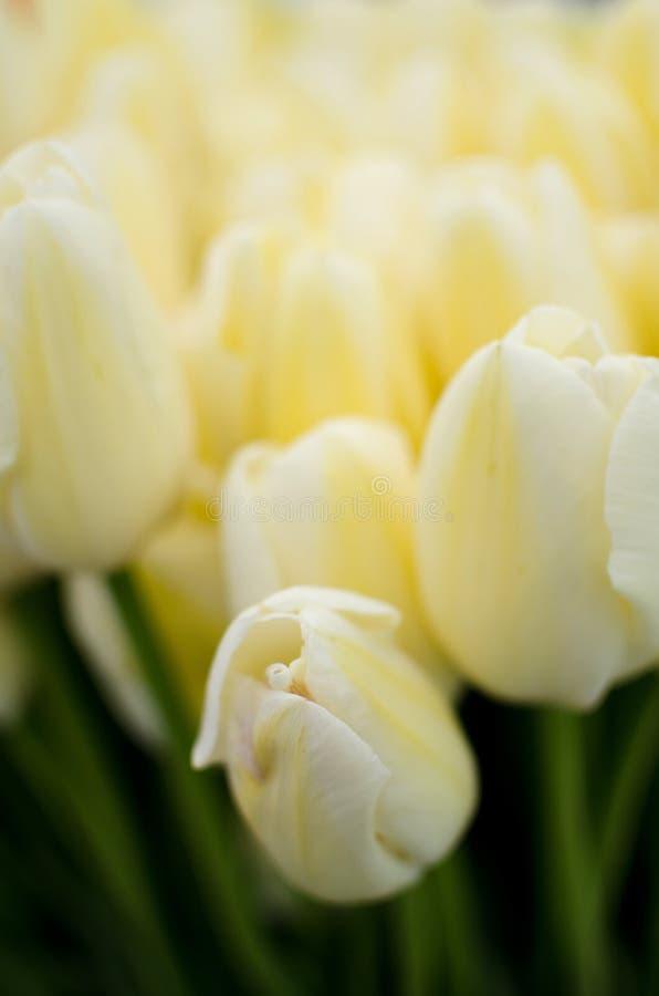 Stagione dei tulipani al mercato dell'agricoltore di Redmond fotografia stock libera da diritti
