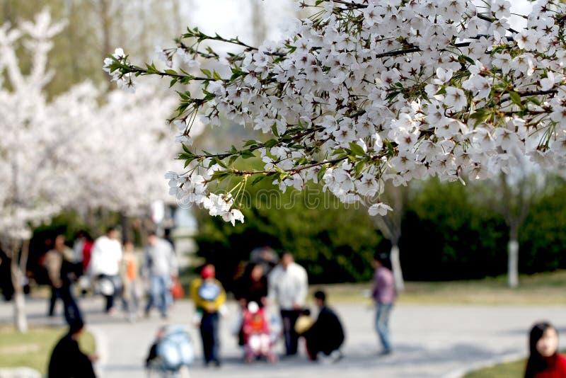 Stagione del fiore di ciliegia. fotografie stock