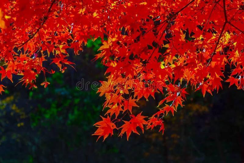 Stagione di autunno al parco nazionale di Naejangsan, Corea del Sud Beautifu fotografia stock