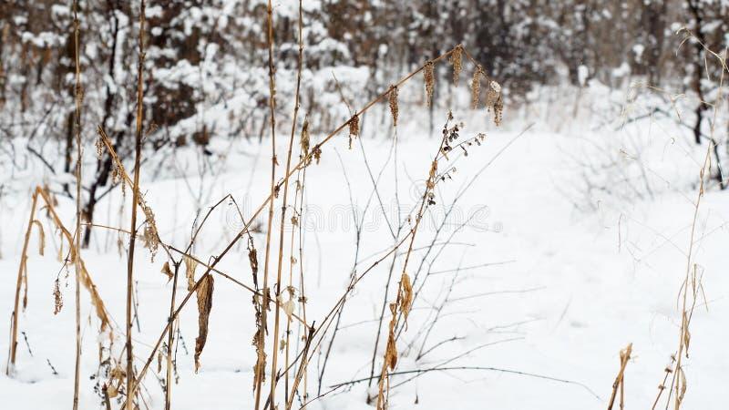 Stagione di depressione di inverno Pianta rotta secca nella foresta in bianco e nero di inverno, fuoco selettivo, fondo immagine stock