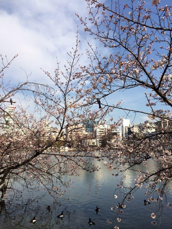 Stagione di Sakura fotografie stock libere da diritti