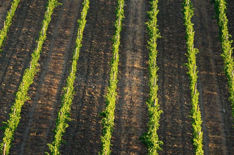 Stagione estiva, belle vigne in Toscana immagine stock
