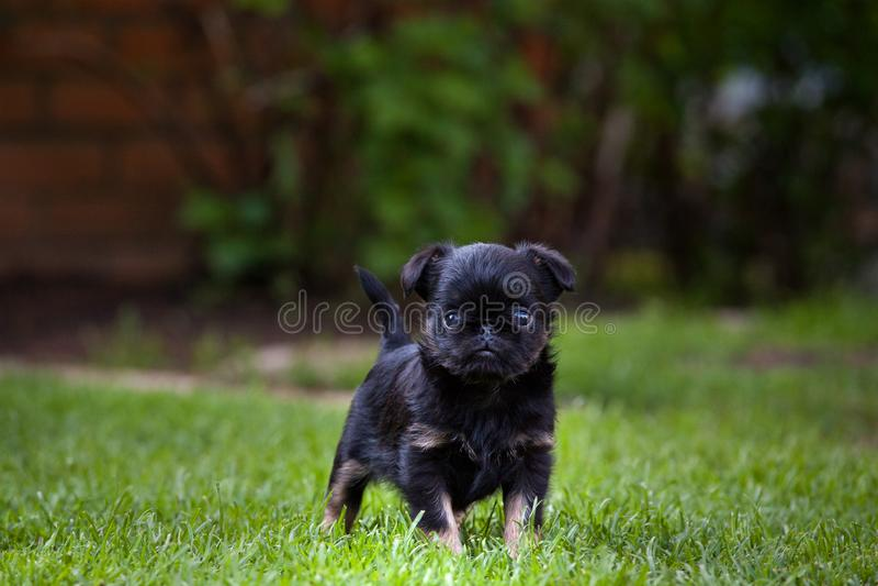 Stagione estiva del giardino di Griffon Baby Dog fotografia stock libera da diritti