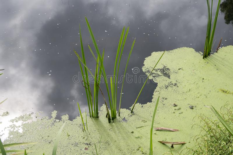 Stagnant water with algae bloom. Polluted river water. Water pollution concept royalty free stock image