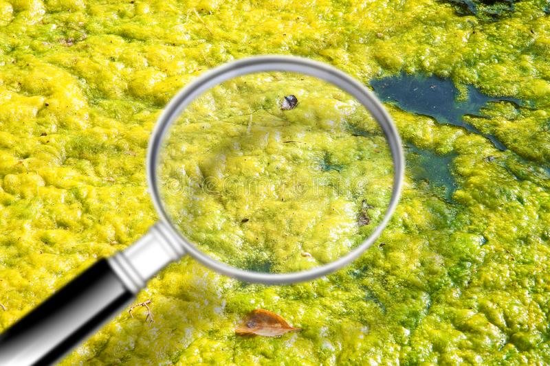 Stagnant water background with yellow algae floating on the surface level - Concept image seen through a magnifying glass stock images