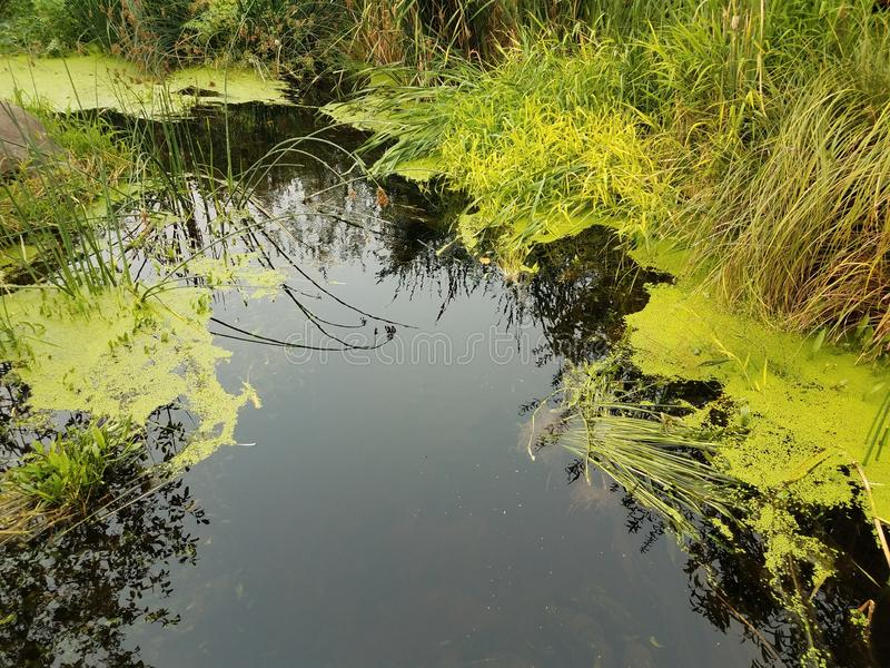 Stagnant water with green algae and grasses. Stagnant water with green algae and plants and grasses royalty free stock image