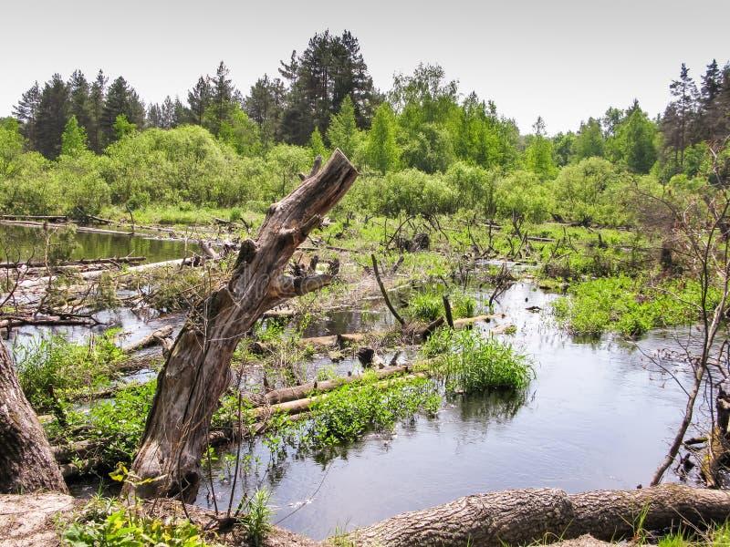 Stagnatie op de rivier, pijnboomboomstammen in het water met gras wordt overwoekerd dat royalty-vrije stock foto