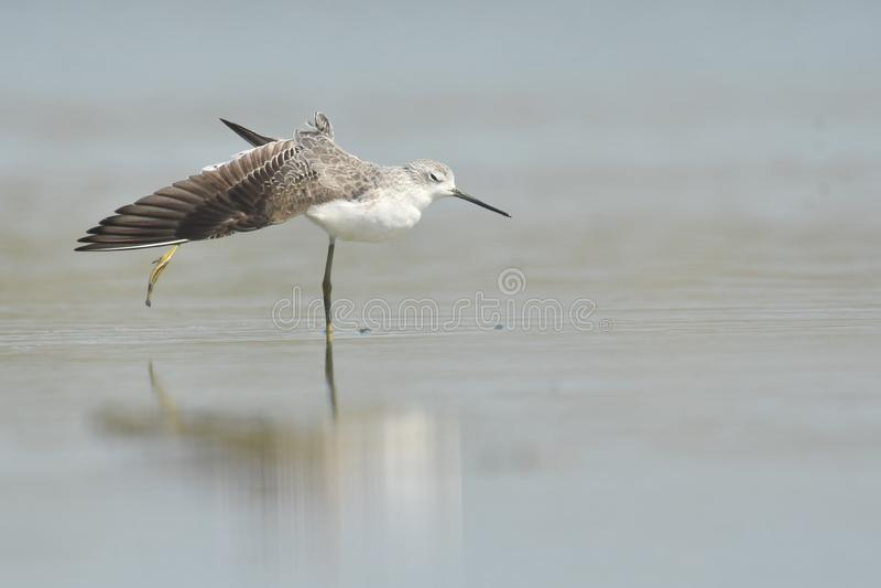 Stagnatilis de Tringa de bécasseau de marais photographie stock libre de droits