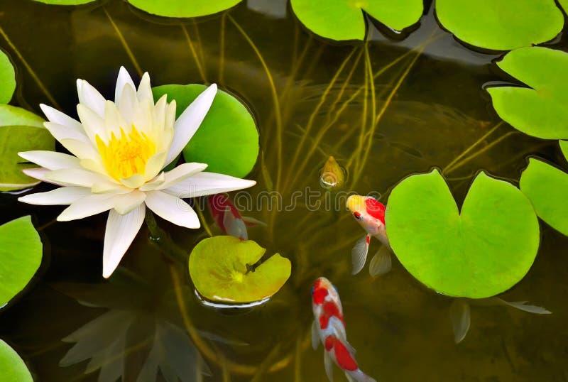 Stagno con bianco waterlily ed il pesce di koi. fotografia stock libera da diritti