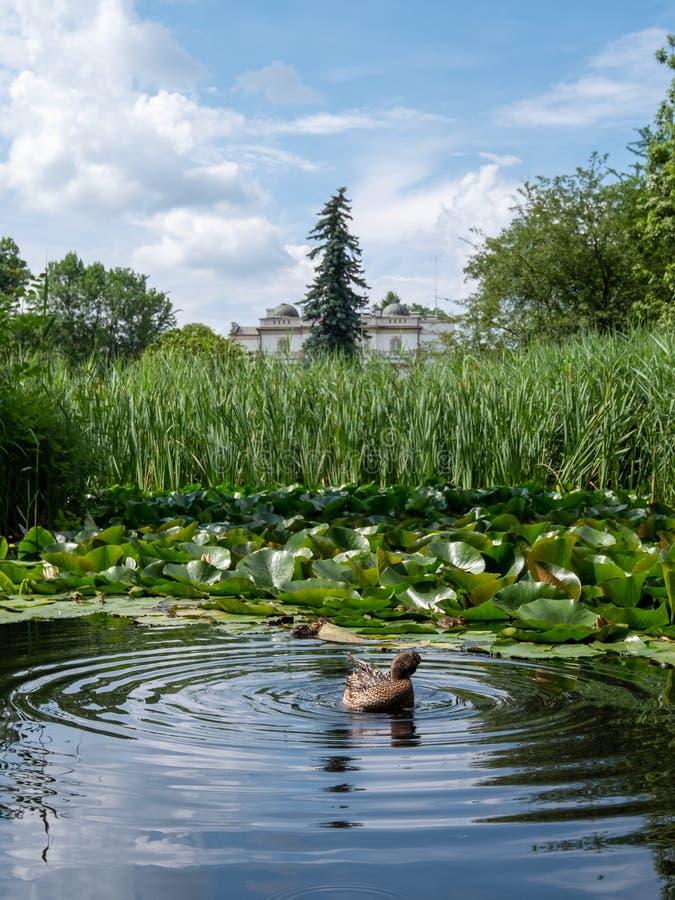 Stagno con l'anatra e gli anatroccoli al giardino botanico dell'università Jagellonica, Cracovia, Polonia immagini stock