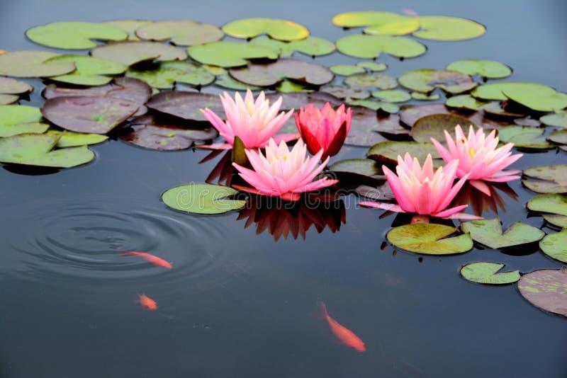 Stagno con la ninfea ed il pesce rosa di koi fotografie stock