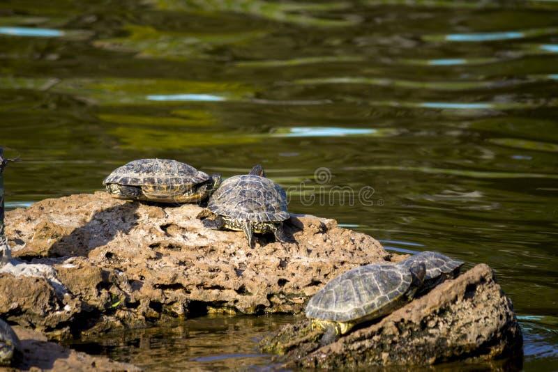Stagno della citt? Quattro tartarughe tartarughe su una pietra fotografia stock libera da diritti